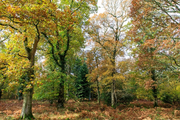 Beautiful shot of trees with autumn leaves in the new forest, near brockenhurst, uk