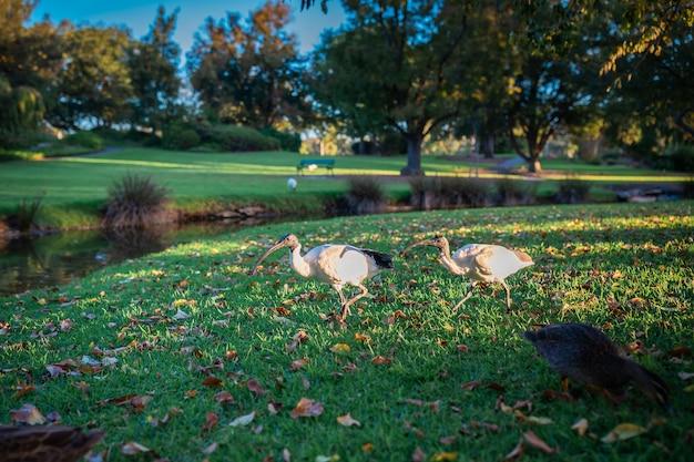 Bellissimo scatto di due ibis dalla testa nera che camminano lungo un fiume