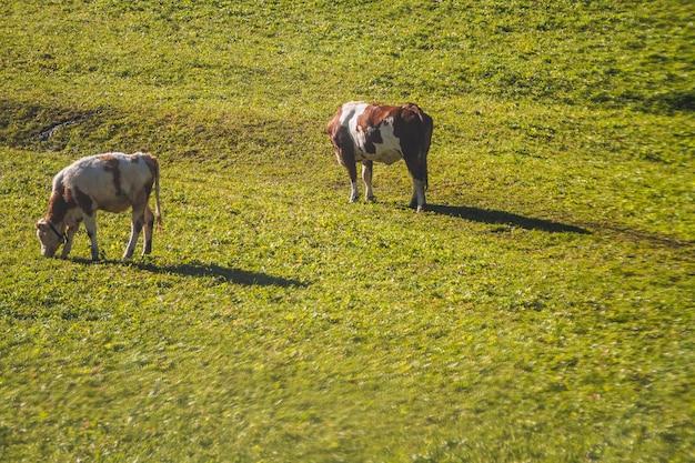 Bellissimo scatto di due mucche che mangiano in un campo erboso alle dolomiti in italia