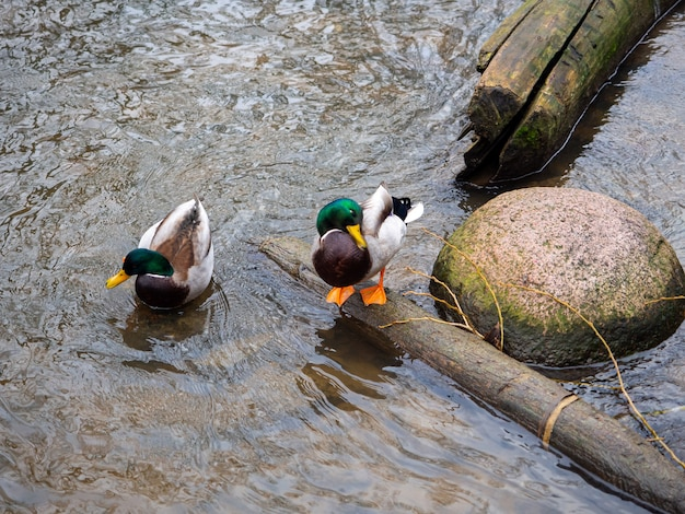 Beautiful shot of two ducks in a river near the bank
