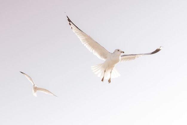Beautiful shot of two white seagulls in fl