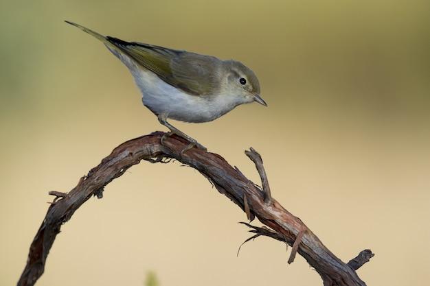 Bellissimo scatto di un uccello di silvia di bonelli occidentale (phylloscopus bonelli) appollaiato su un ramo