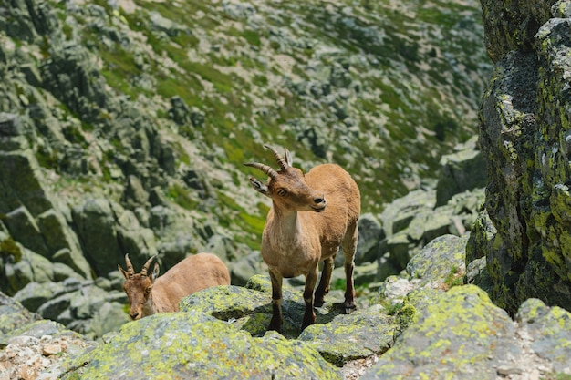 Bello scatto di un cervo dalla coda bianca in montagne rocciose