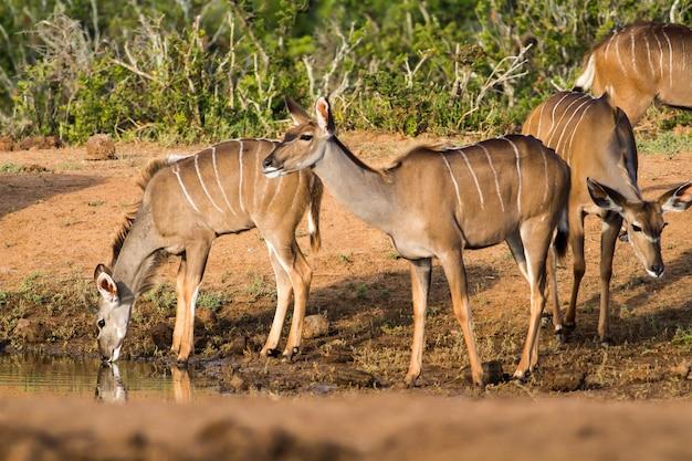 Bellissimo scatto di antilopi africane selvatiche vicino a un lago