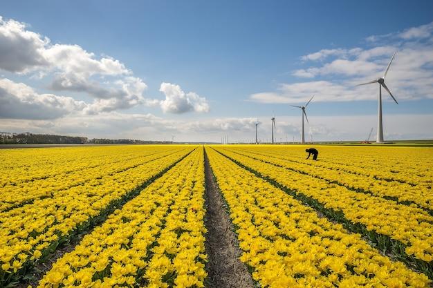 Bellissimo colpo di campo di fiori gialli con mulini a vento sul lato sotto un cielo blu