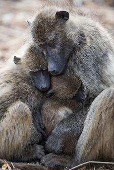 Beautiful shot of a young baboon hugging her mother