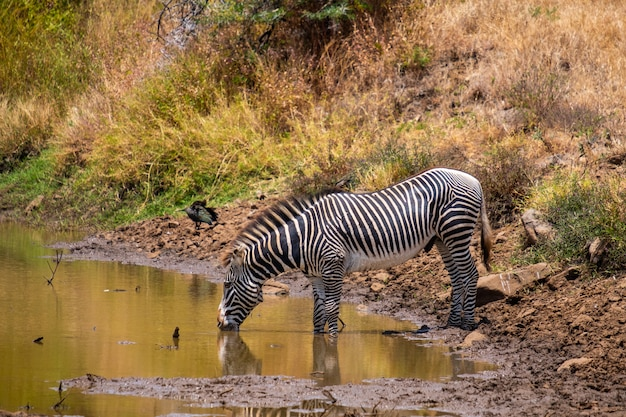 Beautiful shot of a zebra drinking water from a pond captured in kenya, nairobi, samburu