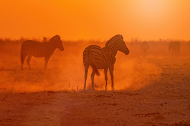 Beautiful shot of zebras group walking in the middle of a desert during a sunset