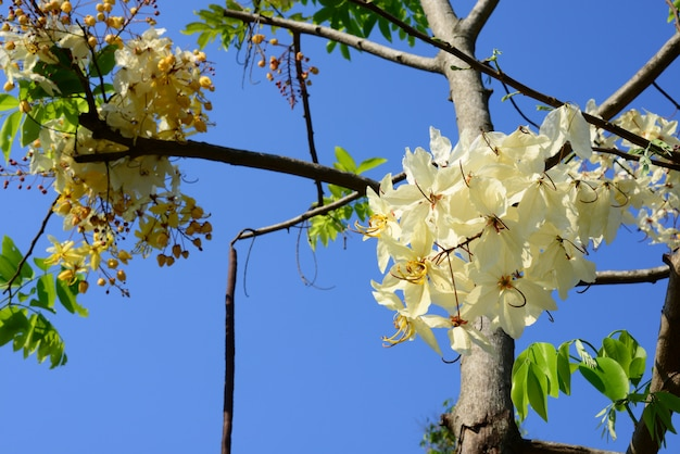 The beautiful of siam white cassia flowers