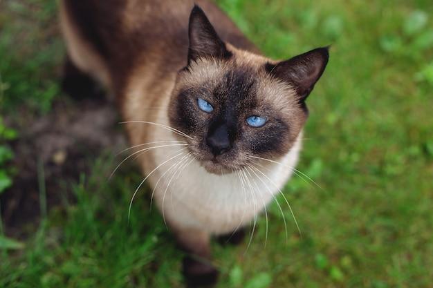 草の中の美しいシャム猫