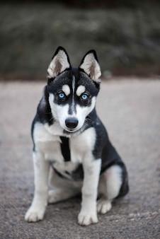 파란 눈을 가진 아름다운 시베리안 허스키 개
