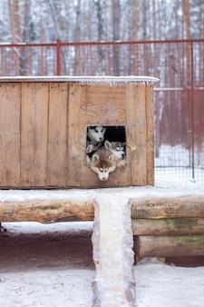 冬の犬小屋、屋外の檻の中の美しいシベリアンハスキーの子犬。犬は頭を出してブースに横になります。