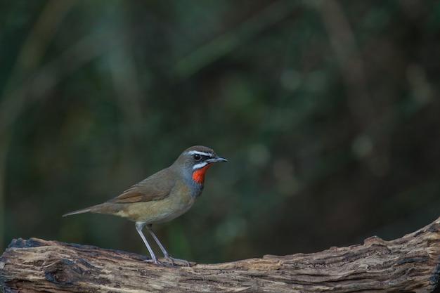 Beautiful of siberian rubythroat bird (calliope calliope) in nature thailand