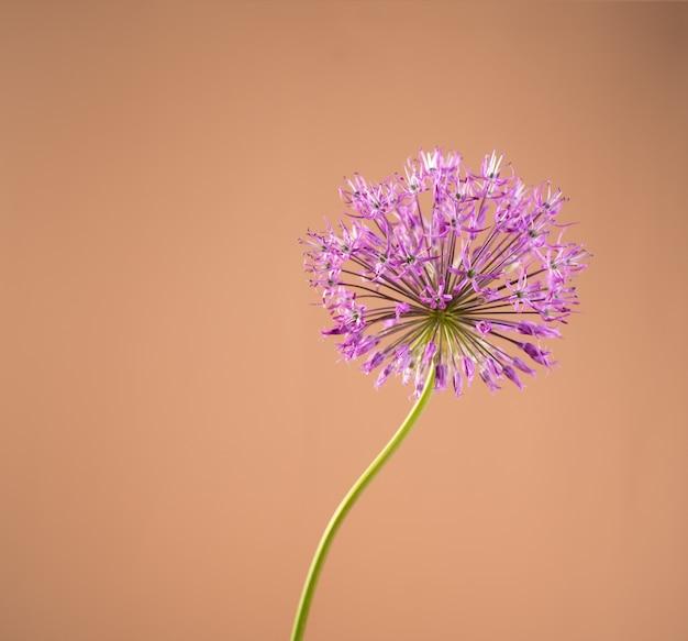 Красивый одиночный цветок лука на фоне бежевого песочного цвета. лук или гигантский лук декоративное растение на цветочном баннере.