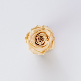 Beautiful single isolated cream color rose