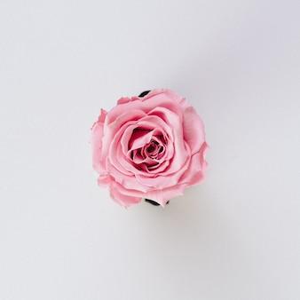 白地に美しい単一の孤立したピンクのバラ