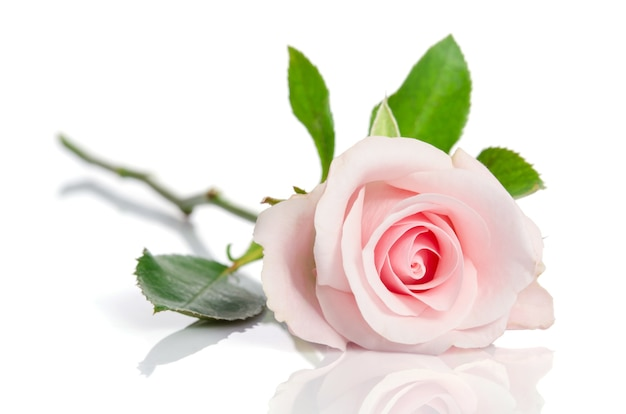 Beautiful single pink rose lying down on a white surface