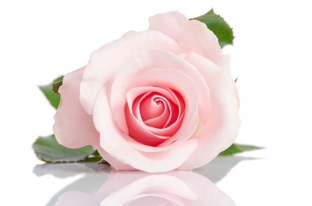 Beautiful single pink rose lying down on white