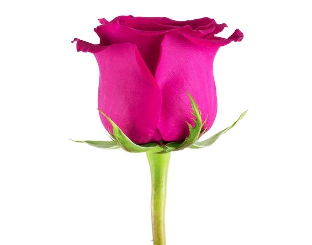 白い背景の上の美しいシングルピンクのバラ。