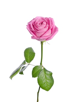 Beautiful single pink rose on white. vertical position