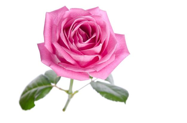 Beautiful single pink rose on white.