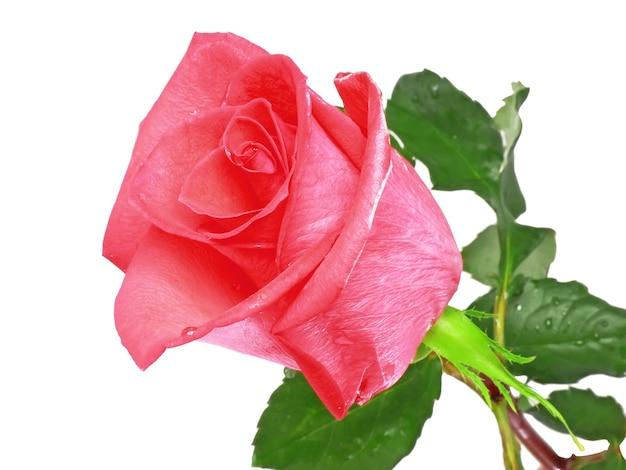 아름 다운 단일 핑크 장미 흰색 배경에 고립입니다.