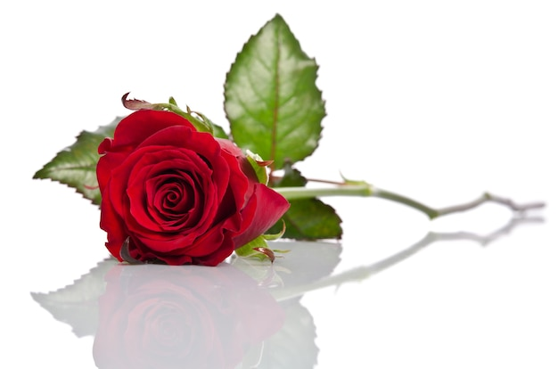 Beautiful single red rose lying down on white