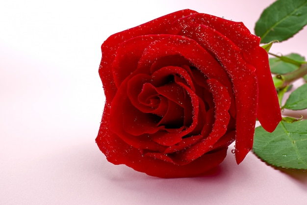 Beautiful single rose on pink background. the concept of st valentine's day, mother's day, march 8.