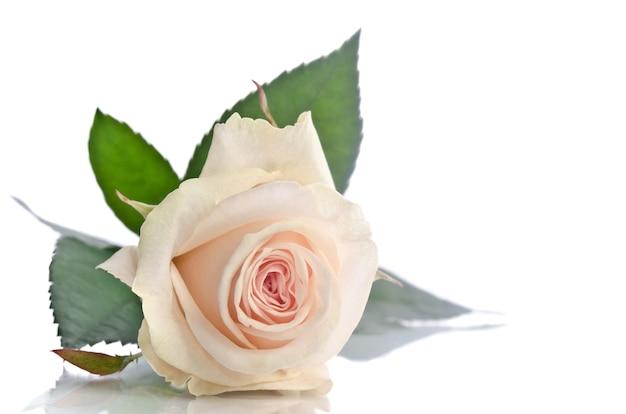 Beautiful single white rose lying down on white