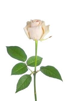 Beautiful single white rose on white