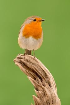 美しい小鳥