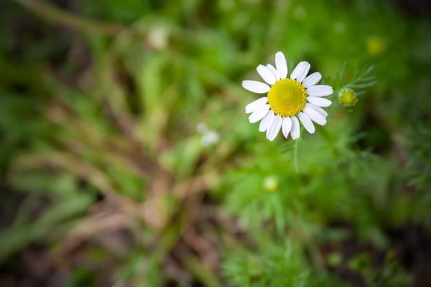 Vignetted 가장자리와 흐린 녹색 배경에 노란색 센터와 흰색 꽃잎과 아름다운 작은 데이지 꽃