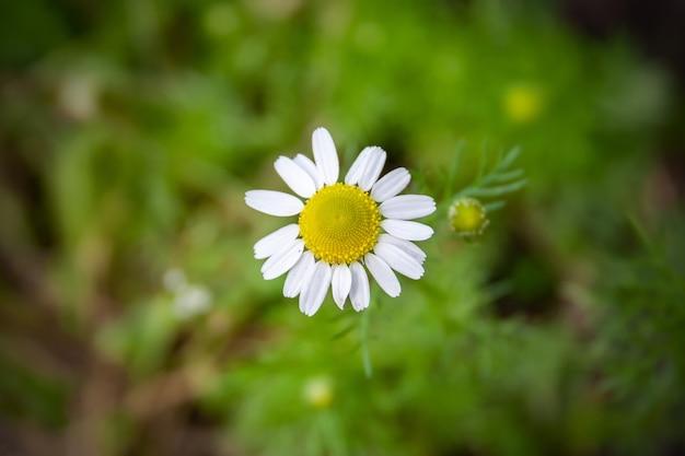 흐린 녹색 배경에 노란색 센터와 흰색 꽃잎과 아름다운 작은 데이지 꽃