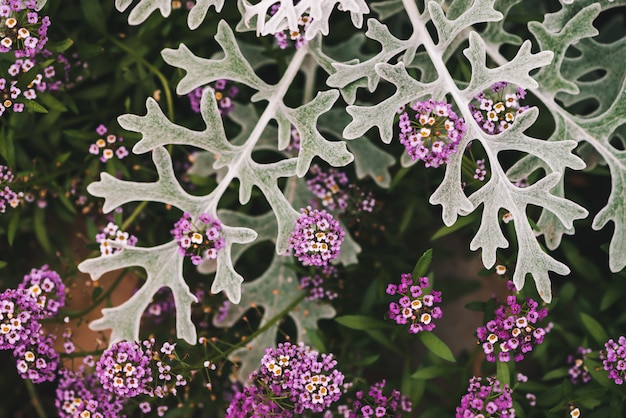 Beautiful small flowers of alyssum among gray green leaves of cineraria in macro.