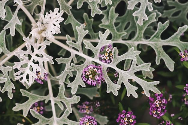회색 녹색 잎 사이에서 alyssum의 아름다운 작은 꽃