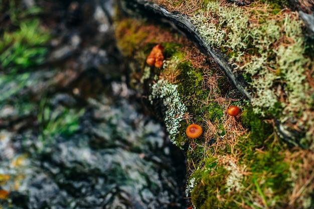 Красивые маленькие грибы с оранжевыми шляпками на старом замшелом бревне