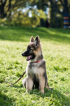 Beautiful small pet with collar and leash on grass meadow