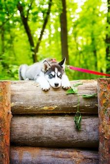 Красивый маленький щенок сибирского хаски с красным поводком лежит на деревянном заборе