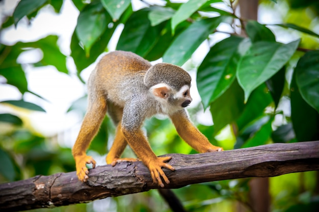 Beautiful small squirrel monkey
