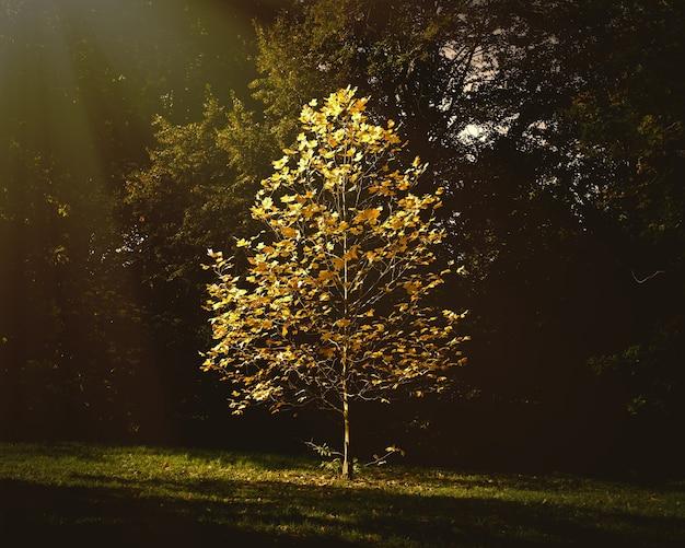 Красивое небольшое дерево с осенними листьями растет в парке под солнечным светом