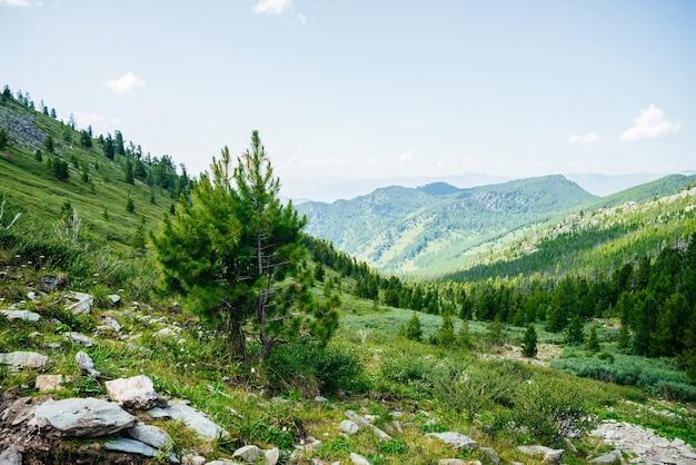 大きな山々を背景にした丘の中腹にある美しい小さな若い杉。