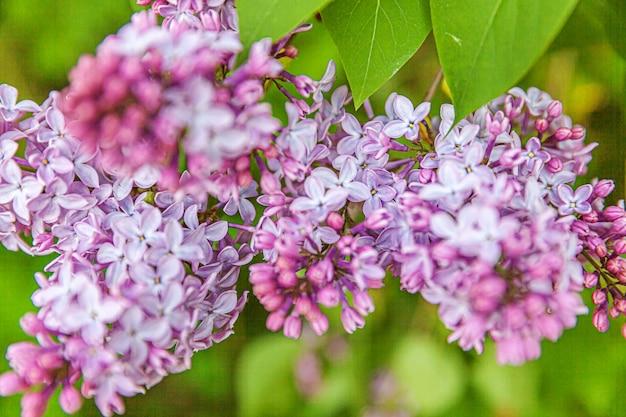 봄 시간에 아름다운 냄새 보라색 보라색 라일락 꽃 꽃