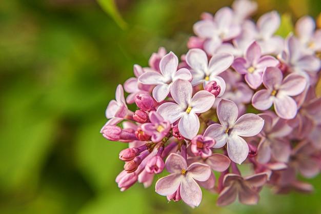 Красивый запах фиолетовых фиолетовых цветов сирени в весеннее время