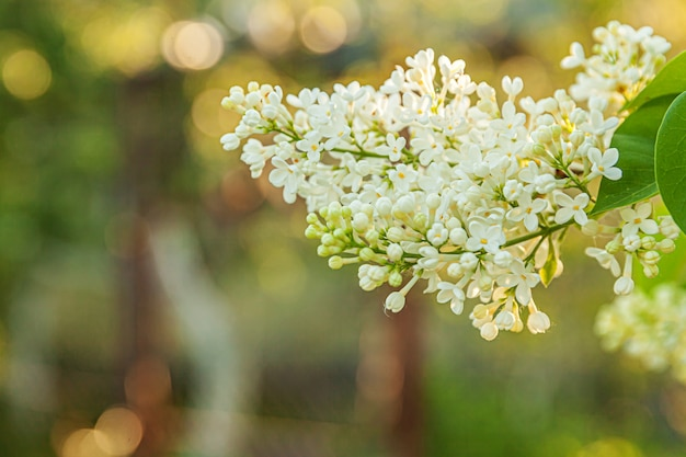 봄 시간에 아름다운 냄새 흰색 라일락 꽃 꽃