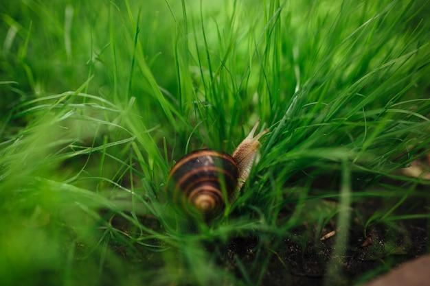 Красивая улитка сидит в зеленой траве крупным планом