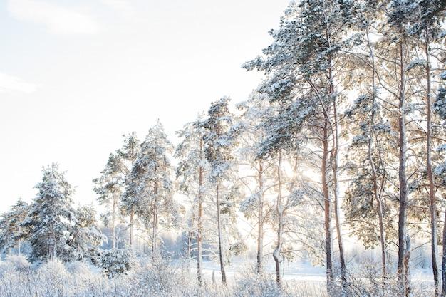 Beautiful snow firs in the sun
