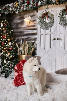 Beautiful snow-white samoyed dog at home in festive rustic winter interior decorated for christmas.