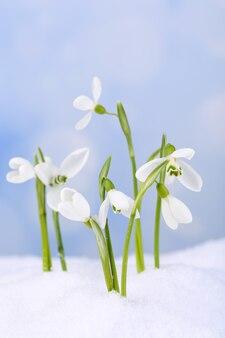 自然の冬の表面の雪の上の美しいスノードロップ