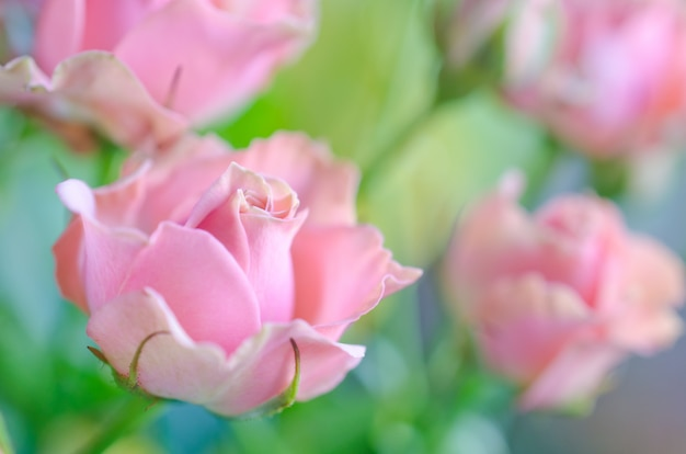 Beautiful soft focus pink roses as a blurred floral rose background