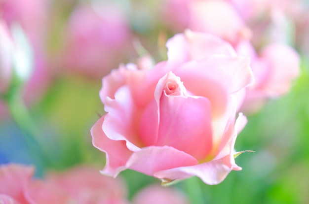Beautiful soft focus pink roses in the sunlight as a blurred floral rose